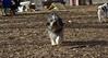Murphy (tibetan Terrier)_00001