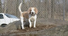 Daisy (lemon beagle)_00002