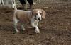 Daisy (lemon beagle)_00007