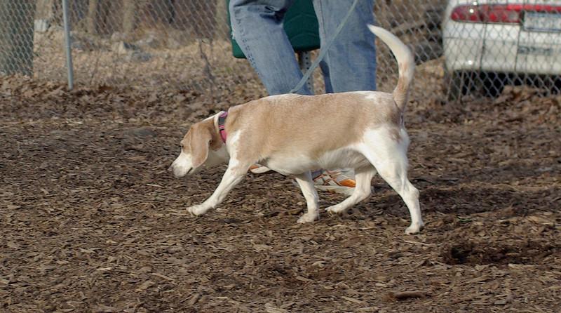 Daisy (lemon beagle)_00008