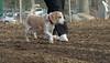 Daisy (lemon beagle)_00004