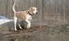 Daisy (lemon beagle)_00003
