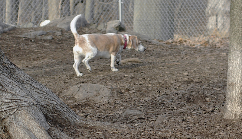 Daisy (lemon beagle)_00001