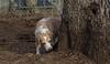 Daisy (lemon beagle)_00005