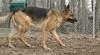 AKBAR (german shepherd)_00003