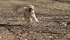 HANK (wheaten pup)_00002