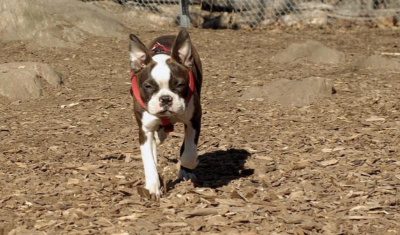 Gussy (puppy)_00001