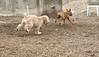 Hank (pup), Roxy (boxer pup)_00002