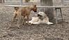 Hank (pup), Roxy (boxer pup)_00005