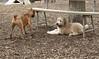 Hank (pup), Roxy (boxer pup)_00007