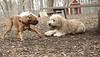 Hank (pup), Roxy (boxer pup)_00008