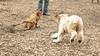 Hank (pup), Roxy (boxer pup)_00001