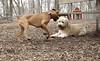 Hank (pup), Roxy (boxer pup)_00009