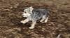 Buddy (morky puppy)_00001
