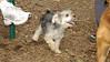 Buddy (morky puppy)_00002