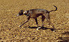 Benjamin (1st time italian greyhound)_00001