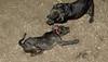 Baby, Bruiser (rescue puppies)_00005