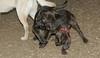 Baby, Bruiser (rescue puppies)_00003