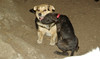 Baby (rescue puppy), Maddie_00001