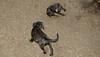 Baby, Bruiser (rescue puppies)_00009