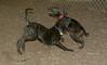 Baby, Bruiser (rescue puppies)_00001