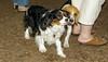 Charlie (spaniel), Google (puppy)_00001