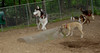 Cirrus (husky), Dixie (puppy)_00001