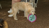 Brandy (goldendoodle puppy)_00004