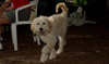 Brandy (goldendoodle puppy)_00012