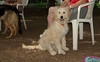 Brandy (goldendoodle puppy)_00006