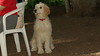 Brandy (goldendoodle puppy)_00010