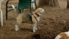 Wilber (beagle)_00001