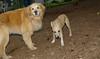 Dixie (puppy), Maggie (GR)_00001