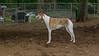 Chase (greyhound)_00001