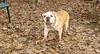 Brandy ( bulldog girl, 11 yr)_001