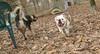 Roxie (new bulldog girl)_002