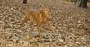 Cleo (viszla puppy)_004