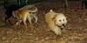 Kato (wheaton puppy)_002