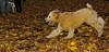 Kato (wheaton puppy)_003