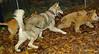 Kato (puppy boy), Cheyenne (puppy girl)_003