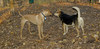 Jack (ridgeback pup), Maddie_001