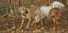 Cleo, Jack (ridgeback pup), Baxter_001