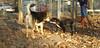 Toby (14 wks puppy), Maddie_001