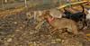 Cleo, Jack (ridgeback pup)_001