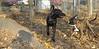 artimis (pup), Ziggy (puppy)_001