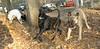 artimis (pup), Candice (puppy)_001