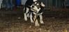 Trixie (new puppy)_005