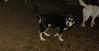Trixie (new puppy)_001