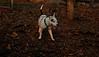 Petey (pitbull puppy)_001