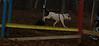 Petey (pitbull puppy)_002